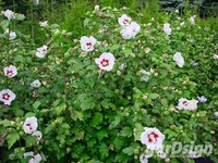 Althaeastruik Hibiscus syriacus 'Red Heart'