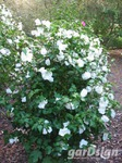 Althaeastruik Hibiscus syriacus 'William R. Smith'