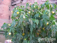 Abutilon Abutilon 'Cloth of Gold'