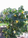 Abutilon 'Golden Fleece'