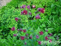 Akelei Aquilegia vulgaris 'Ruby Port'